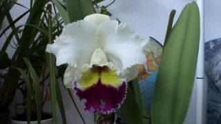 preview picture of video 'Cattleya - Blc. Chian - Tzy Lass 'Triple Colors''
