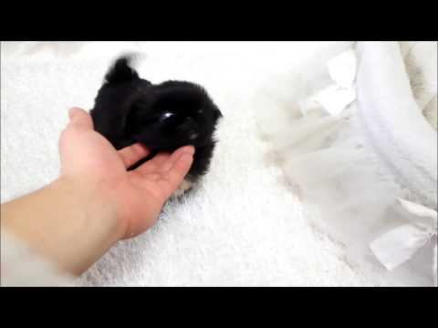 Betty Boop Mini Pekingese