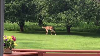 A Deer In Our Back Yard — 23.6.18
