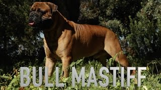 BULLMASTIFF: A DOG LOVER'S INTRODUCTION