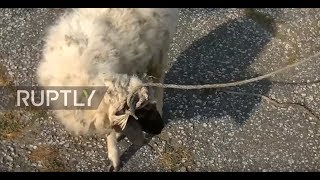 Georgia: Mutton mutiny! - Activists put forward sheep as mayoral candidate