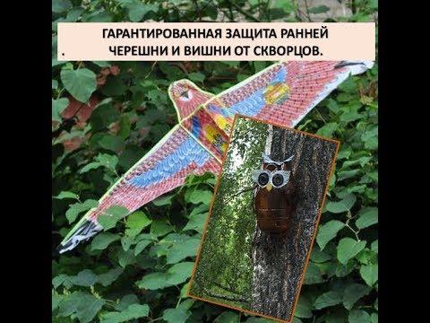 Гарантированная защита черешни и вишни от скворцов.