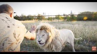 ОЧЕНЬ  АДРЕНАЛИНОВОЕ ВИДЕО  !!! Смеркалось ...и львы стали сами делить мясо ...