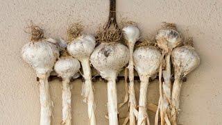 Basic Info On Hardneck, Softneck, & Elephant Garlic