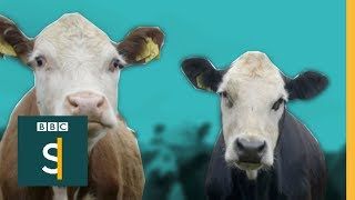 Lightness of being: inspiration; 73 Cows