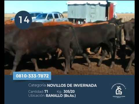 Lote Novillitos - Ramallo