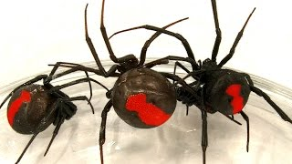 Deadly Spider Infestation How To Catch Lots Of Beautiful Redback Spiders
