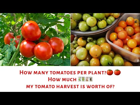 Download How many tomatoes per plant? Secrets of companion planting| Tomato harvest Mp4 HD Video and MP3