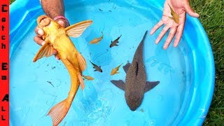 ARMORED CATFISH Having BABY in the POOL!