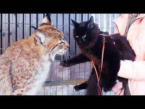 РЕАКЦИЯ РЫСИ НА ПОЯВЛЕНИЕ МЕЙН-КУНА В ВОЛЬЕРЕ. Первая прогулка котёнка вне дома / Lynx reaction