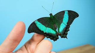 Родилось четыре новые бабочки одновременно! Бабочкарий. alex boyko