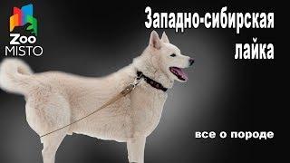 Чем кормить Западно сибирскую лайку