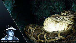 Box Turtle Departs Pythons Nest 01