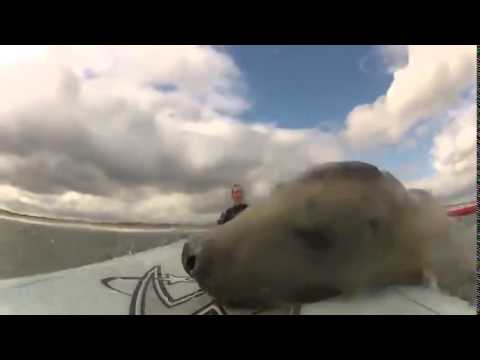 Seal want's to surf