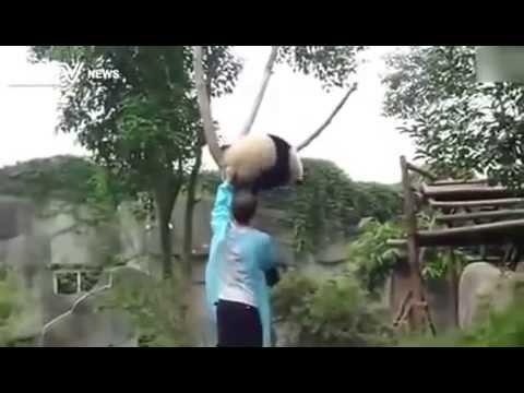Как снимали панду с дерева.)