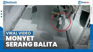 Viral Balita di Palmerah Diserang Monyet Hingga Kepalanya Mendapat 22 Jahitan, Ini Kronologinya