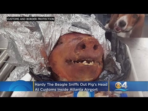 Roasted Pig Head Sniffed Out By Customs Beagle At Airport