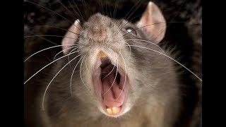 Какую приманку использовать для крыс