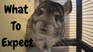 What To Expect When Your Bring Your Chinchilla Home...