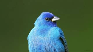 Adult male Indigo Bunting singing