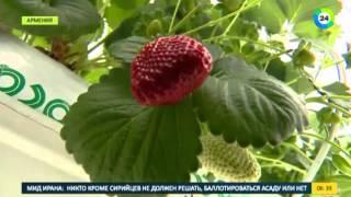 МИР24 Sweetberry Armenia