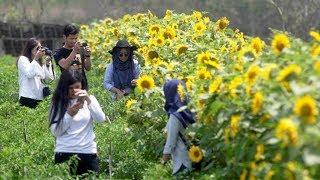 Nikmati Keseruan Berfoto di Kebun Bunga Matahari Bantul, Yogyakarta