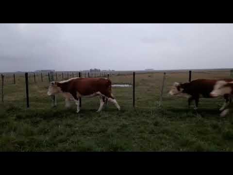 Afiche 30  Vaca   - 360kg - Artigas