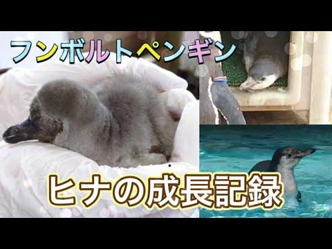 【成長記録】フンボルトペンギンのヒナが大きくなるまで