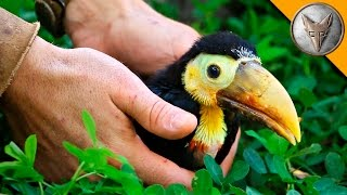 Rescued Baby Toucan!