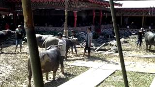 preview picture of video 'Funeral Ceremony in Tana Toraja, Sulawesi, Indonesia'