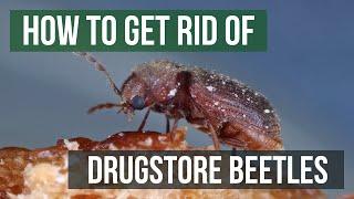 How to Get Rid of Drugstore Beetles