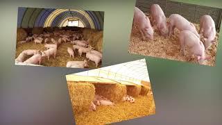 Домашняя свиноферма | Календарь садовода