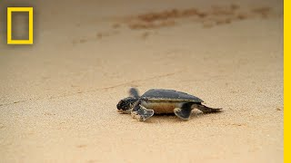 Thumbnail for Rising Temperatures Cause Sea Turtles to Turn Female | National Geographic