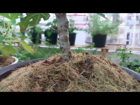 Sung Mỹ bonsai trái đã ửng hồng và gốc Sung Bonsai sắp ra quả