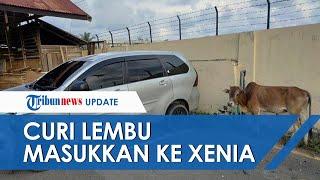 Komplotan Pencuri Lembu di Pidie Kejar-kejaran dengan Polisi, Curi Lembu Masukkan ke Mobil Xenia