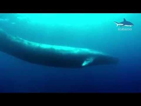 Amazing Blue Whale - The Biggest Whale In The World! Mp3