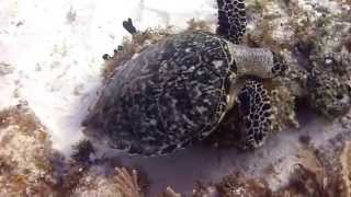 Turtles all the way down - Diving around Yucatan (Mexico)