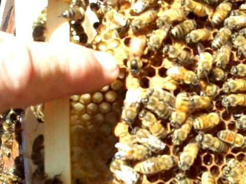 Queen Bees Archives - Page 6 of 7 - Beekeeping videos