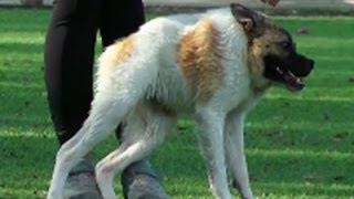 Смотреть онлайн Собака с коротким позвоночником