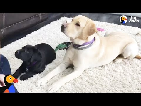 LIVE: Service Dog Puppy Gets Training From Smudge the Guide Dog | The Dodo LIVE