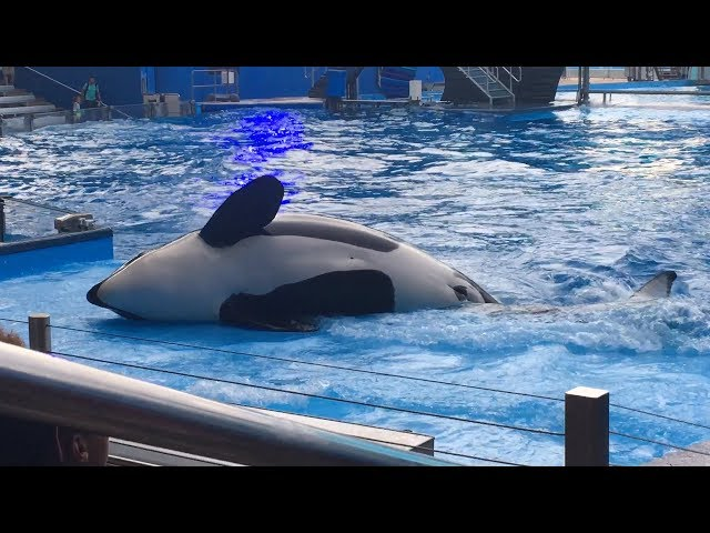 SHAMU IS DEAD!! JUST A DAY AT SEAWORLD