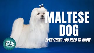 Maltese Dog - Must Know Facts for the Owner