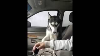 Хаски просит погладить Pat husky / ПРИКОЛЫ Животные Funny Animals