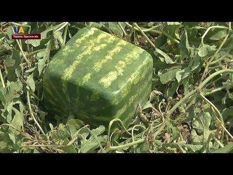 Квадратные арбузы вырастил фермер из Одесской области