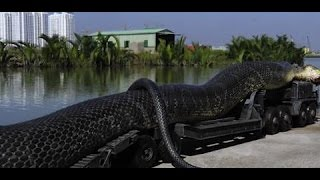 GIANT ANACONDA, DINOSAUR TIED TO A TRAILER AND THE WORLD'S LARGEST TORTOISE? 16/3/16
