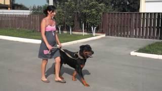 Как отучить собаку тянуть поводок (Ротвейлер)