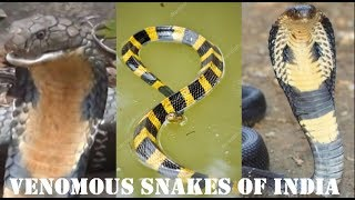 Top 10 Poisonous Snakes In India