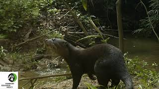 Asian Small-Clawed Otter (Aonyx cinereus)