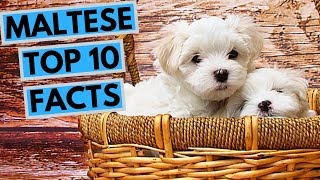 Maltese - TOP 10 Interesting Facts