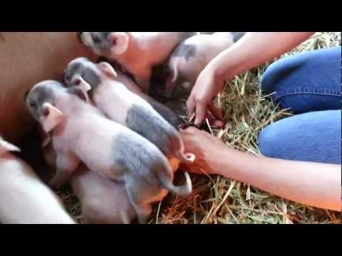 Newest litter of piglets